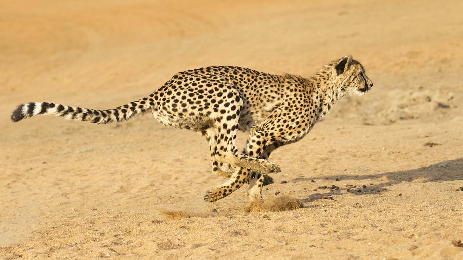 http://www.dreamstime.com/royalty-free-stock-photos-cheetah-running-acinonyx-jubatus-south-africa-image29434738